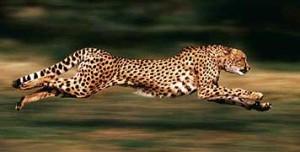 Running-cheetah