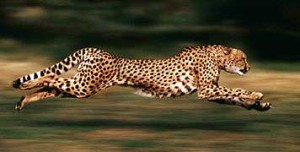 Running-cheetah